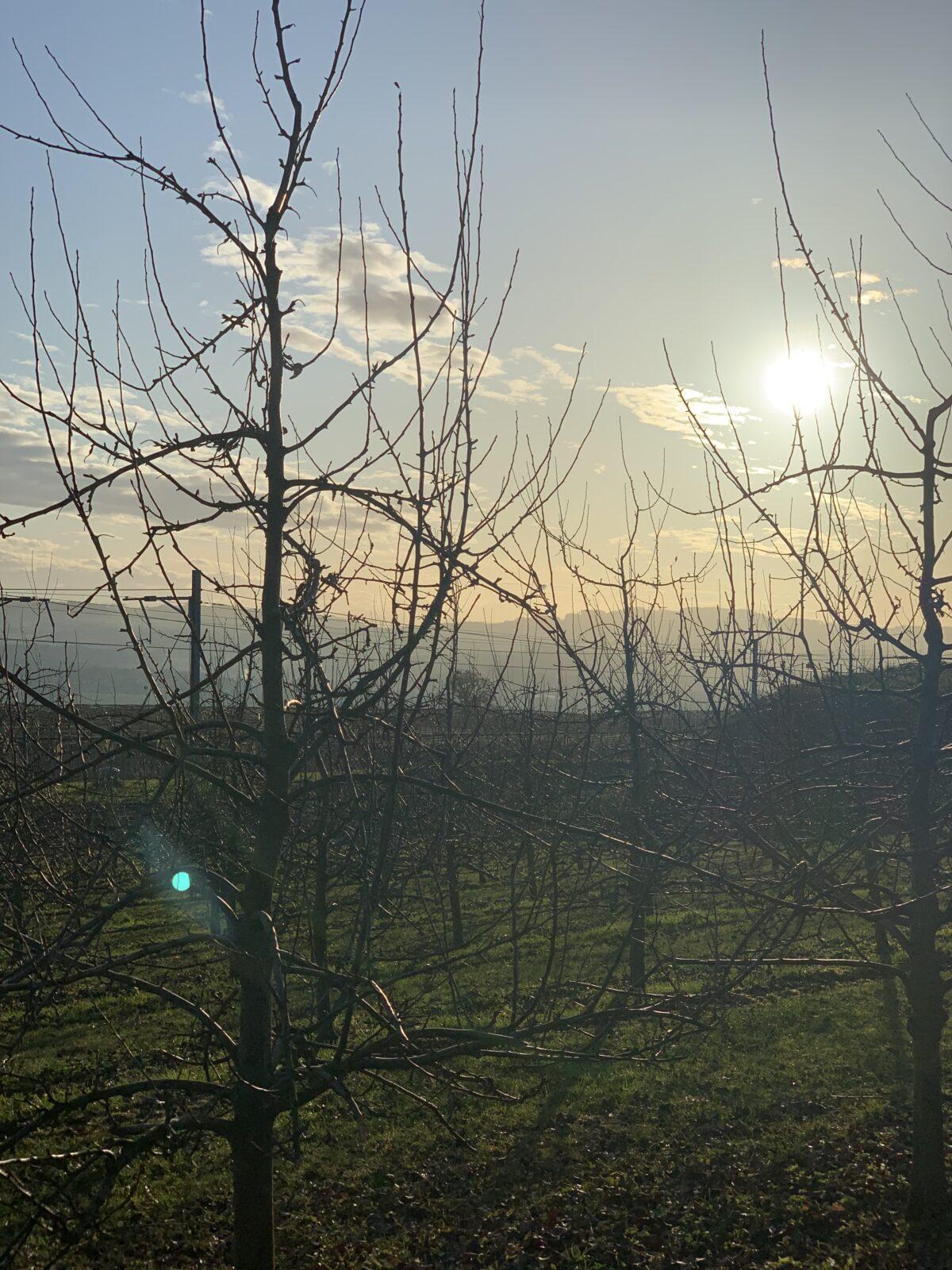 Apfelbaum, Februar, Sonnenaufgang